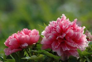 牡丹花语是什么,牡丹的代表意义