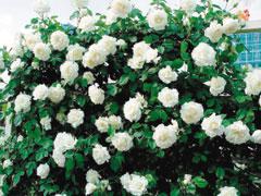 数字玫瑰花语