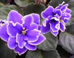 紫罗兰的花语