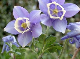 紫盆花的花语