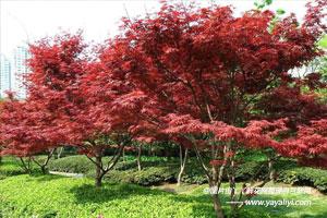 彩叶树的介绍
