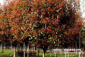 彩叶树的形态特征