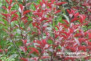 彩叶树的主要价值
