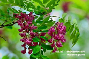 香花槐的形态特征