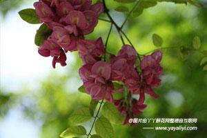 香花槐的生态习性