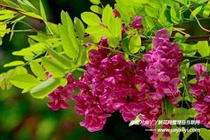 香花槐的栽培技术