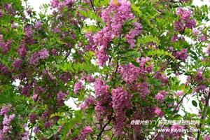 香花槐的繁殖方式