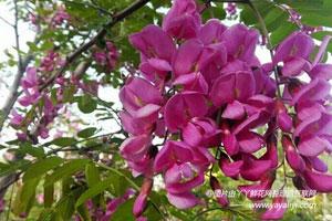 香花槐的病害防治