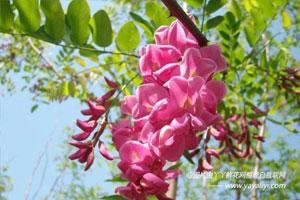 香花槐的品种分类
