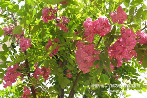 香花槐的分布区域