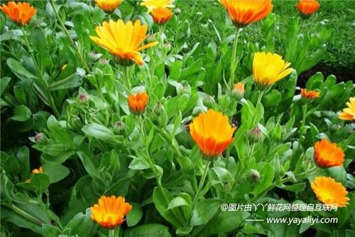金盏菊的生长规律