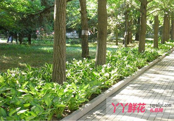 玉簪的园林用途