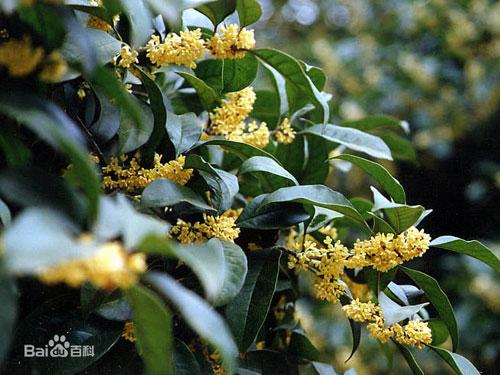 桂花新品种图片_桂花的四大品系种群 - 花卉养殖 - 丫丫鲜花网