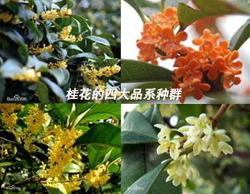 桂花的四大品系种群