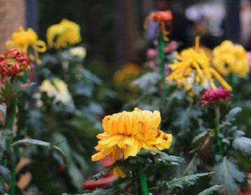 北京植物园菊花文化节 50万鲜花汇聚一堂