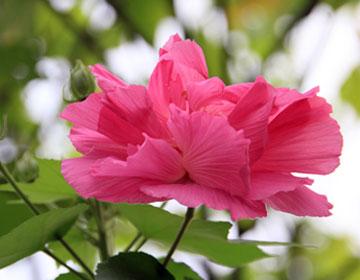 木芙蓉的品种分类