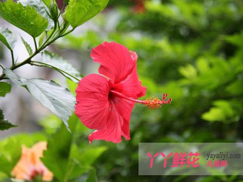 木芙蓉的植物文化
