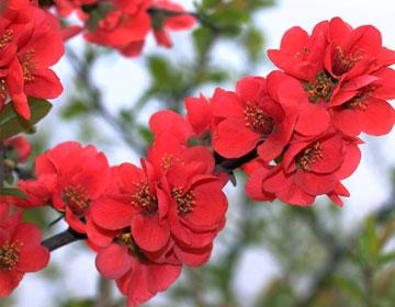 海棠花的传说