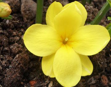 迎春花的三个传说