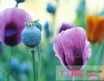 罂粟花的传说