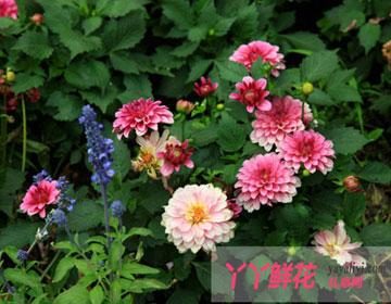 如何培植多色大丽花?