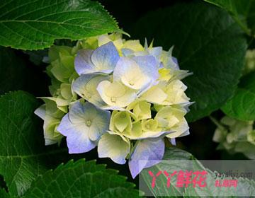 八仙花的传说是什么