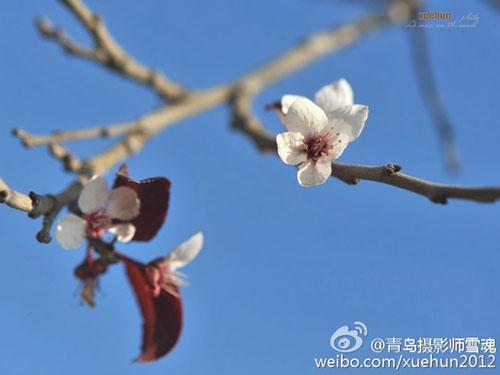 惊艳!青岛紫荆花反季盛开 仿若秋去春来