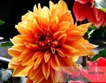 怎样保持大丽花优质品种花色不变异?