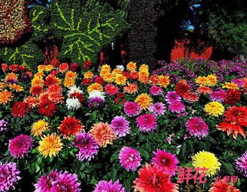 大丽花的品种分类