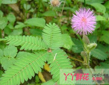 含羞草的传说—含羞草的6个传说