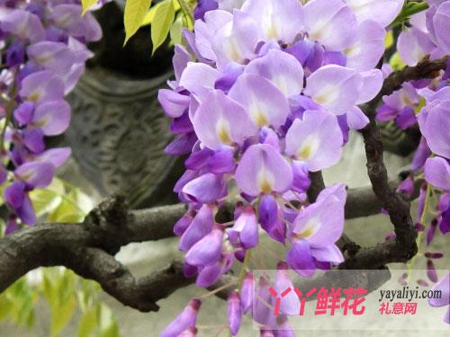 紫藤花美丽的传说