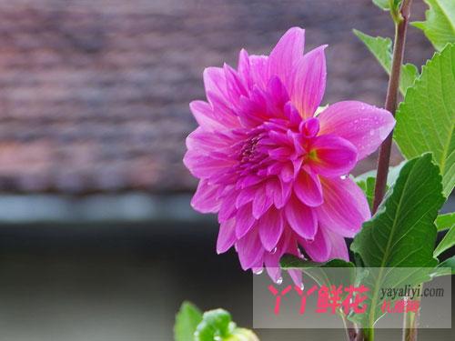 大丽花的国花市花