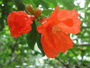石榴花的花语是什么?