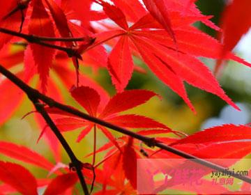 红枫的主要品种