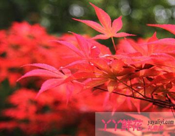 红枫的养殖护理