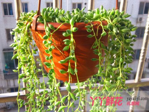 珍珠吊兰的形态特征及生长习性