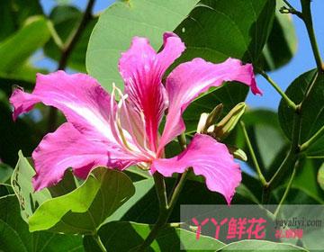 紫荆花的传说