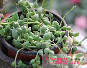 珍珠吊兰的作用用途