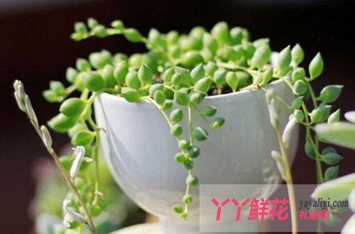 珍珠吊兰在栽培中的注意事项
