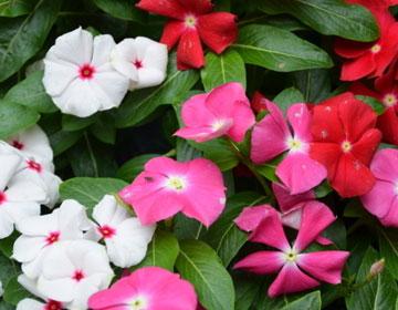 长春花的品种分类