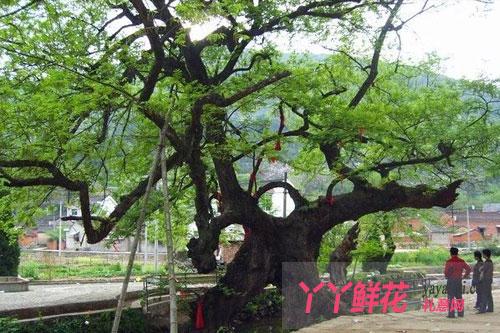 相思树的传说