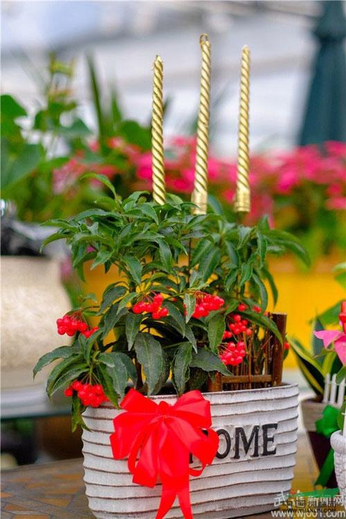 盆景花卉增添圣诞元素 迎接圣诞销量的小高峰