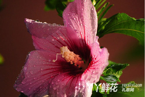 关于木槿花的传说