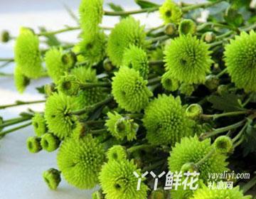 小绿菊的花语