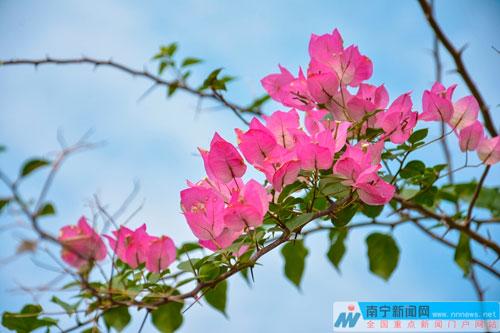 组图:南宁暖冬鲜花竞相开放