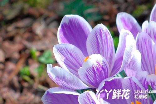 关于番红花(藏红花)的传说