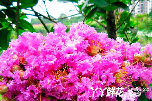 紫薇花的传说