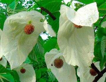 珙桐花的三个传说