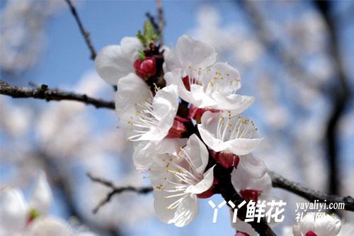 杏花的形态特征