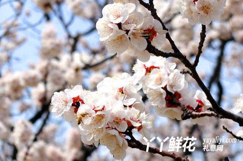 杏花的产地分布
